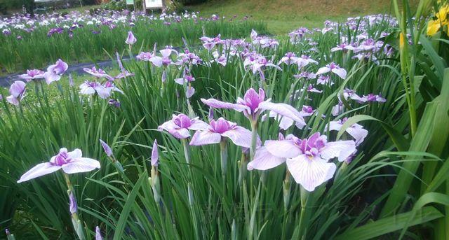 五十公野公園あやめ園の薄紫のあやめ