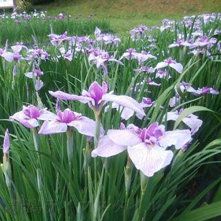 五十公野公園あやめ園の薄紫のあやめの小さい画像