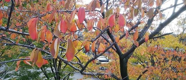 白山公園の赤く色づく木の葉のアップ