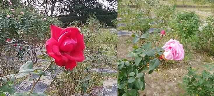 濁川公園のバラ