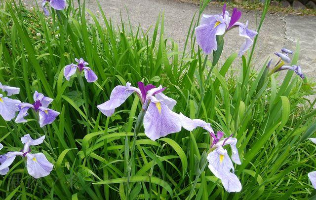 ほだれ大神近くで薄紫色に咲いているあやめ