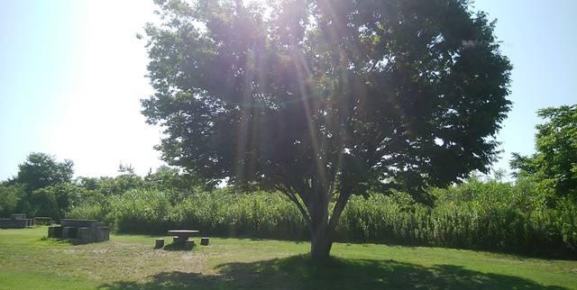 信濃バレー親水レクリエーション広場のバーベキューで、大木に日光があたりキラキラ輝いている