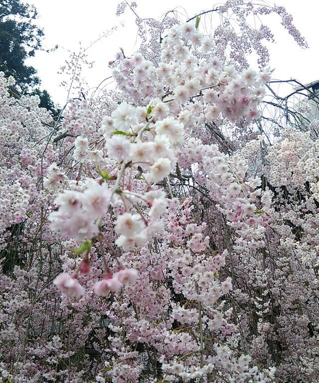 六角堂の桜アップ