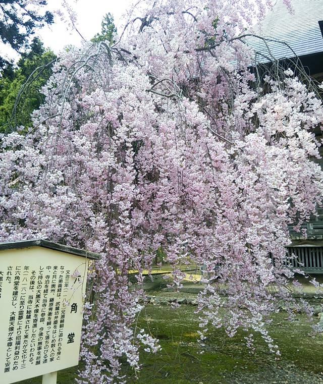 六角堂と桜のアップ