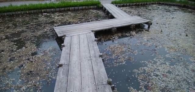 北方文化博物館のハス池の木橋