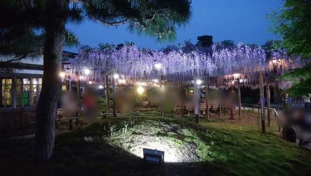 北方文化博物館の藤の花その4