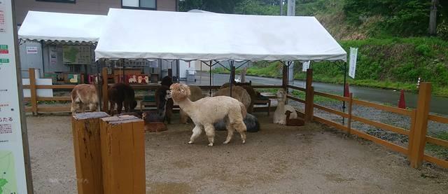 山古志油夫アルパカ牧場のアルパカたちがいる広場とテント